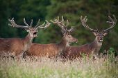 group of deer stags
