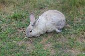 Rabbit, Domesticated