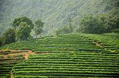 Meijiewu Tea Longjing Plantation