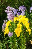 foto of stargazer-lilies  - yellow lily and violet phlox on the garden - JPG