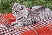 picture of scottish-fold  - Scottish Fold cat lying on a blanket - JPG
