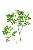 picture of absinthe  - Small branch with fresh green leaves of wormwood  - JPG