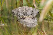 A crocodile lying in wait