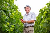 Senior winemaker in vineyard before harvest