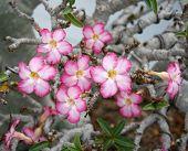 picture of desert-rose  - Pink Flower Adenium obesum tree Desert Rose Impala Lily - JPG