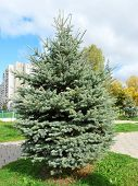 Blue Spruce In The City. Cityscape