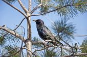 Starling On A Pine Tree On A Background Of Blue Sky