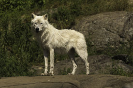 image of horrific  - A lone Arctic Wolf in the summertime - JPG