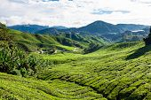 foto of cameron highland  - Green tea farm in Cameron Highland Malaysia Asia