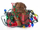 foto of christmas puppy  - christmas puppy  - JPG