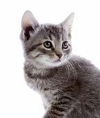 Portrait Of A Gray Kitten.