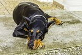 Black Doberman Pinscher Dog