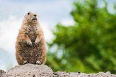 Prairie Dog Standing Watchful On Burrow