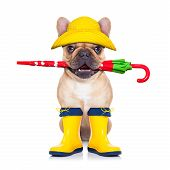 image of rain  - fawn french bulldog sitting and waiting to go for a walk with owner prepared for rain and dirtwearing rain boots holding umbrella with mouth isolated on white background - JPG