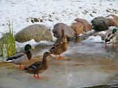 image of male mallard  - Male and female mallards in a park during wintertime - JPG