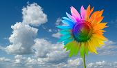 Sunflower - a rainbow