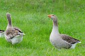Grey domestic goose on the green grass