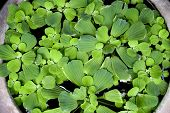 image of water cabbage  - Green water lettuce were blooming as a raft - JPG
