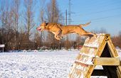 American Pit Bull Terrier Jumps Over An Obstacle