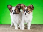 Two Beautiful Puppies Papillon Breed