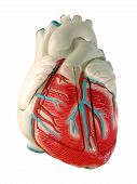 Modell des menschlichen Herzens