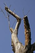 dead standing tree