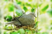 foto of bird-nest  - dove bird in the family nest home - JPG