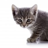 Portrait Of A Gray Angry Kitten.