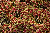 Coleus Leaves (painted Nettle,flame Nettle )