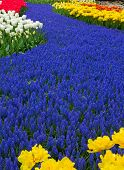 Blue River Of Flowers In Holland Garden