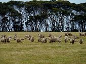 picture of oz  - Sheep in a meadow with trees in the back on Kangeroo Island in Australia - JPG