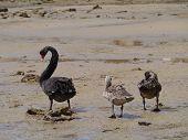 Australian Black swan family