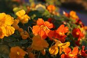 foto of nasturtium  - Bright orange nasturtium flowers glowing in evening sunlight - JPG