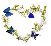 heart shape from cherry tree flowers and blue butterflies isolated on white background