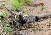 foto of monitor lizard  - Monitor lizard in the wild on the island of Sri Lanka  - JPG