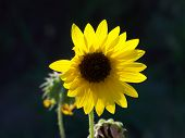 sunflower dee-light