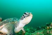 stock photo of green turtle  - A green turtle on a dark tropical coral reef - JPG