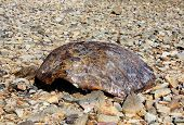 stock photo of turtle shell  - turtle shell found on beach on Thursday Island Torres Straits Australia - JPG