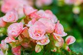 foto of begonias  - Beautiful Pink begonia or fibrous flower in the garden - JPG