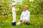 pic of grandpa  - happy grandson and grandpa having fun in spring garden blowing dandelions - JPG