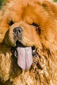 pic of chow  - Chow Chow dog portrait with tongue out - JPG