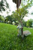 picture of feeding  - Feeding a wild squirrel a peanut in a public park located in Boston Massachusetts - JPG