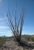 picture of texans  - A lone cactus stands in the desert like a tree - JPG