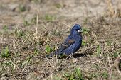 foto of grass area  - Blue Grosbeak sitting in the grass on a warm spring day - JPG