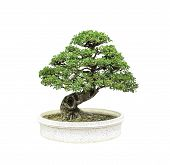 pic of bonsai  - Bonsai tree in pot isolated on white background - JPG