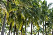 stock photo of palm  - Palm tree with coconut - JPG
