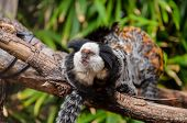 image of marmosets  - Callithrix Geoffroyi Small Black and White Monkey - JPG