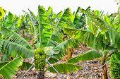 stock photo of banana tree  - Banana Plantation Field in Tenerife Canary Islands - JPG