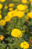 picture of marigold  - Close up marigold flower in the garden - JPG