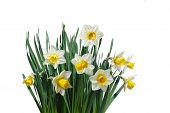 stock photo of jonquils  - White daffodil narcissus jonquil flower plants isolated - JPG